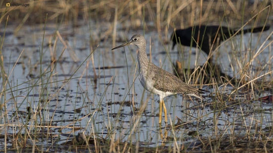 Grote geelpootruiter - Greater Yellowlegs 001