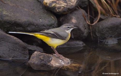 grote-gele-kwikstaart-grey-wagtail-15