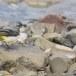 Grote-gele-kwikstaart-Grey-wagtail-25