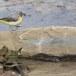 Grote-gele-kwikstaart-Grey-wagtail-26