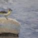 Grote-gele-kwikstaart-Grey-wagtail-27
