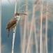 grote-karekiet-great-reed-warbler-01