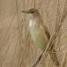 grote-karekiet-great-reed-warbler-09