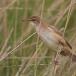 grote-karekiet-great-reed-warbler-10