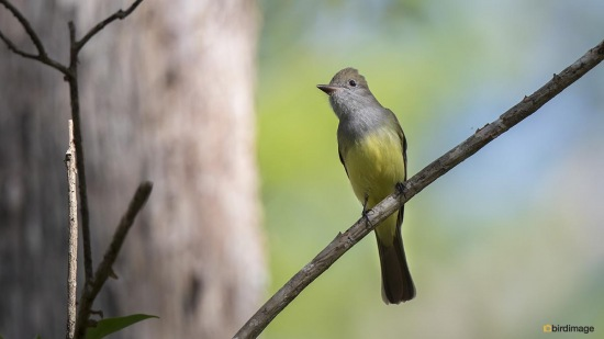 Grote kuiftiran - Great Crested Flycatcher 001