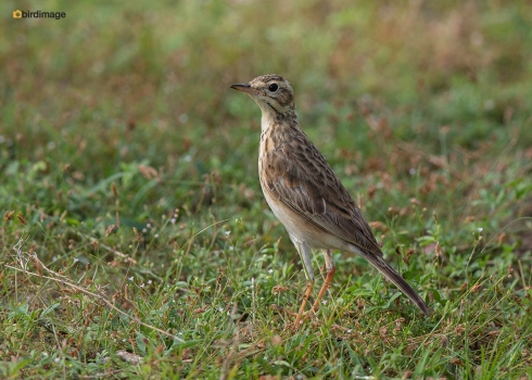 Grote-pieper-Richards-pipit-04