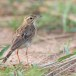 Grote-pieper-Richards-pipit-02