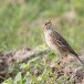 Grote-pieper-Richards-pipit-05