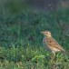 Grote-pieper-Richards-pipit-07