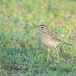 Grote-pieper-Richards-pipit-08