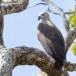 Grote-rivierarend-Grey-headed-fish-eagle-03