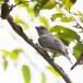 Grote-rupsvogel-Large-cuckooshrike-01
