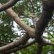 Grote-rupsvogel-Large-cuckooshrike-02