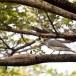 Grote-rupsvogel-Large-cuckooshrike-03