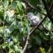 Grote-rupsvogel-Large-cuckooshrike-04