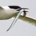 Grote stern - Sandwich Tern 04
