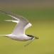Grote stern - Sandwich Tern 05