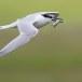 Grote stern - Sandwich Tern 06