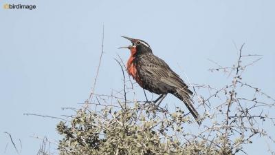 Grote weidespreeuw_Long-tailed Meadowlark 02