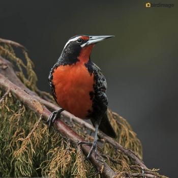 Grote weidespreeuw_Long-tailed Meadowlark 06