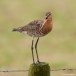 Grutto - Black-tailed Godwit 02