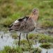 Grutto - Black-tailed Godwit 03
