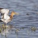 Grutto-black-tailed-Godwit-14