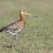 Grutto-black-tailed-Godwit-18