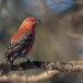 Haakbek-Pine-grosbeak-01