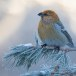 Haakbek-Pine-grosbeak-02