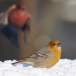Haakbek-Pine-grosbeak-10