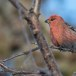 Haakbek-Pine-grosbeak-11