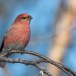 Haakbek-Pine-grosbeak-13