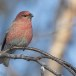 Haakbek-Pine-grosbeak-14