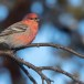 Haakbek-Pine-grosbeak-15