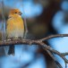 Haakbek-Pine-grosbeak-18