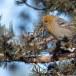 Haakbek-Pine-grosbeak-19