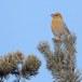 Haakbek-Pine-grosbeak-20