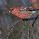 Haakbek-Pine-grosbeak-21