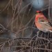 Haakbek-Pine-grosbeak-22