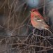 Haakbek-Pine-grosbeak-23