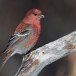 Haakbek-Pine-grosbeak-24