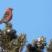 Haakbek-Pine-grosbeak-25