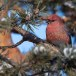 Haakbek-Pine-grosbeak-26