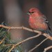 Haakbek-Pine-grosbeak-27
