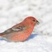 Haakbek-Pine-grosbeak-30