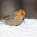 Haakbek-Pine-grosbeak-32