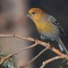 Haakbek-Pine-grosbeak-36