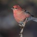 Haakbek-Pine-grosbeak-38