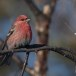 Haakbek-Pine-grosbeak-40